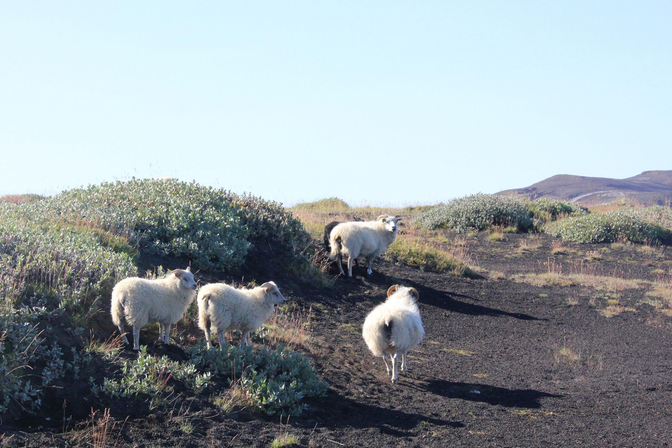 Vier weiße Schafe zwischen niedrigem Gebüsch. Der Sand am Boden ist schwarz, im Hintergrund flache Berge.